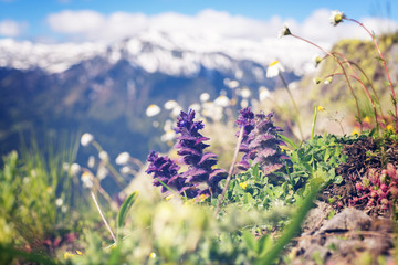Wildflowers, close-up, blooming in the alpine meadow Wall mural