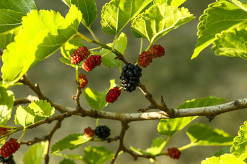 Fresh ripe mulberry berries on the branch