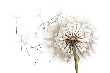 White fluffy flower Tragopogon dubius, yellow salsify, wild oysterplant, goat`s beard, and seeds on white background. Big dandelion