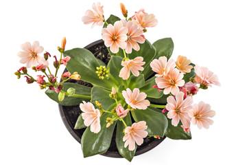 Orange flowers Hippeastrum in flower pot, isolated on white background, (Amaryllidaceae) blossom flowers Amaryllis or Hippeastrum