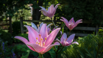 Pink lilies in a garden setting showing petals, stigma, anthers and filaments