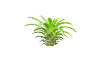 pineapple tree on isolated