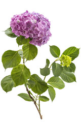 Foto op Aluminium Hydrangea Beautiful pink hydrangea flowerhead, Hydrangea macrophylla, and hydrangea bud isolated on white background