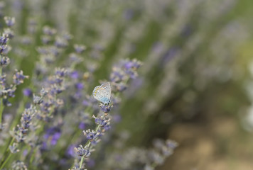 Butterfly on Lavender bushes, macro, closeup
