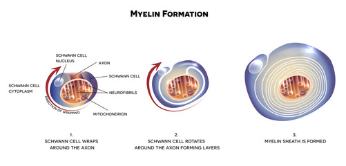 Myelin sheath of the neuron. A schwann cell envelops and rotates around the axon forming myelin sheath, now axon is myelinated