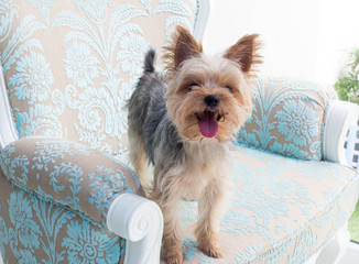 Small cute funny Yorkshire Terrier puppy dog stand on the luxury chair and looking for something.