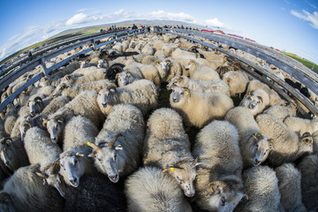 Traditional sheep gathering in Iceland