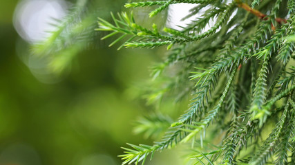 closeup green branch pine tree with blurred background