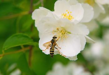 Wasp on a jasmine flower