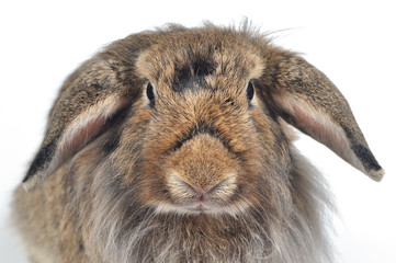 Close up portrait  rabbit face on white background.