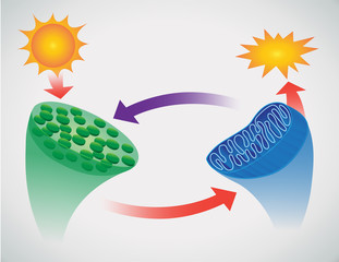 vector illustration of photosynthesis