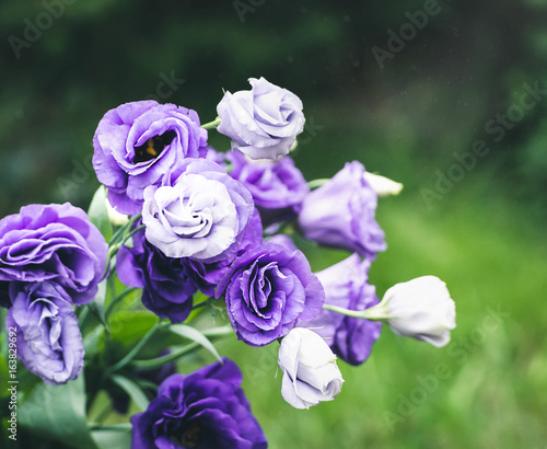 Closeup to beautiful purple and white lisianthus tulip gentian closeup to beautiful purple and white lisianthus tulip gentian texas blue bell altavistaventures Choice Image