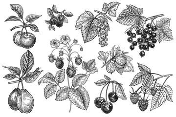 Vintage fruits and berries set.