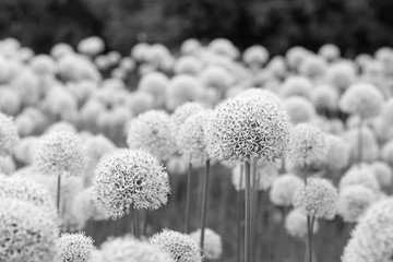 Glade of white flowers of spherical shape in sunny day - black and white