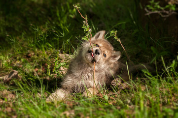 Fotomurales - Grey Wolf (Canis lupus) Pup Chews on Plant