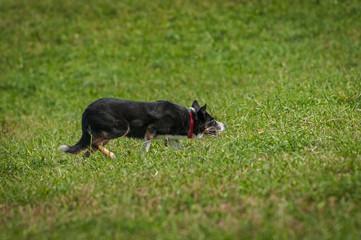 Stock Dog Creeps Slowly Through Grass