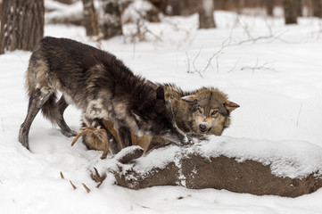 Grey Wolf (Canis lupus) Snarls At Black-Phase Grey Wolf