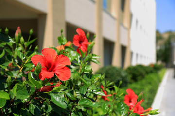 Czerwony Kwiaty na wyspie Rodos, śródziemnomorskie kwiaty.