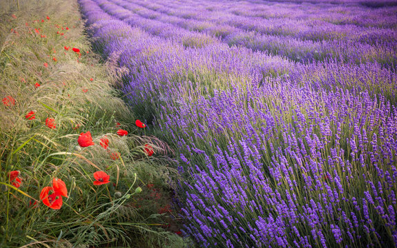 Blooming lavender fields in Little Poland with red poppies