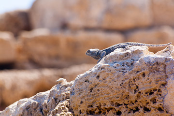 Desert lizard Side close up portrait on hot dry stones in archaeological site roman ruins in israel