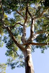 Tree top of large Eucalyptus tree - Australia