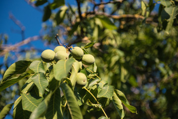 Walnut green fruit unripe on tree branch