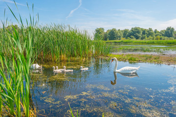 Swans and cygnets swimming in a lake in summer