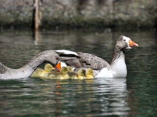 goose parents with goslings at a park in Buenos Aires