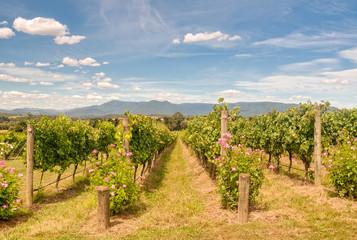 Papiers peints Vignoble Rows of vines in a Yarra Valley vineyard - Yarra Glen, Victoria, Australia