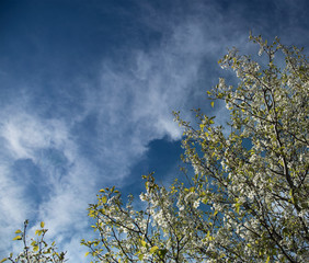 flowering branches in spring against a blue sky with white clouds