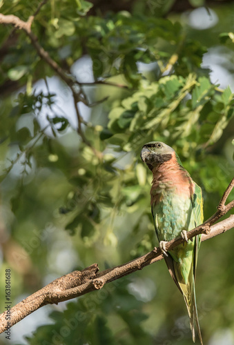 Red-Breasted Parakeet On Branch Of Tree In The Temple