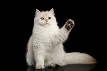 Funny British Cat White color-point Sits and touching paw on Isolated Black Background, front view