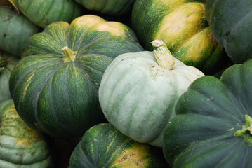 green pumpkins in farm during harvest season