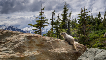 Whistler Marmot