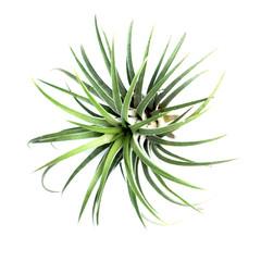 Green Tillandsia. (air plant with scientific name Tillandsia)