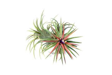 Green Tillandsia. (air plant)