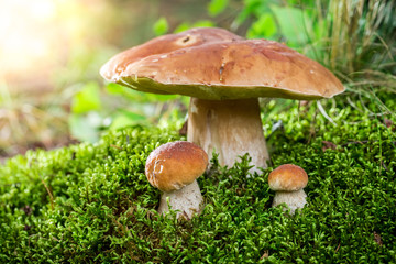Boletus mushrooms on moss at dawn in summer