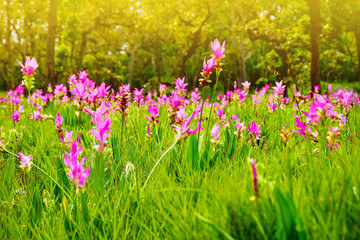 Beautiful siam tulip  flower blooming in grass field