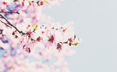 Blooming cherry branch with copy space on soft blue background