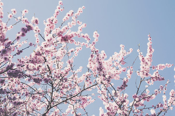 Blooming pink cherry with copy space on blue sky
