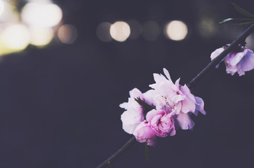 Blooming pink sakura flowers with empty space on dark background