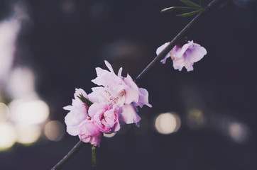Blooming pink flowers with copy space on dark background
