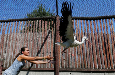 An assistant sets free an injured stork, which received a prosthetic leg, at a hospital for wild birds in Hortobagy National Park