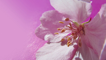 Beautiful pink blossom of an apple tree on purple background. Spring flower close-up. Horizontal image.