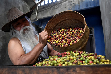 Worker pours arabica coffee beans into grinding machine at Sumowono Village in Semarang
