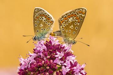 Hauhechel-Bläuling, Polyommatus icarus, Paarung auf Dost