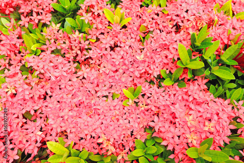 Pink spike flowers with green leaves stock photo and royalty free pink spike flowers with green leaves mightylinksfo