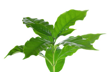 Coffee leaves on white background