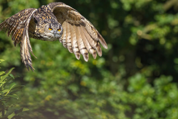 Countryside wildlife. Wild owl bird of prey flying by forest woodland.