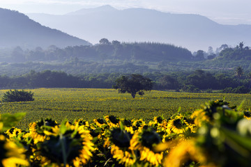 Sunflower field and sunrise Thailand.